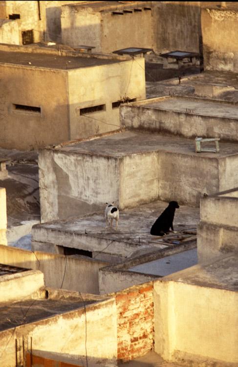 Tunisi cani su tetti medina
