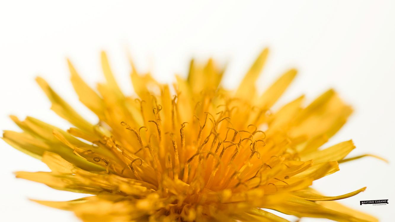 fiore giallo campo