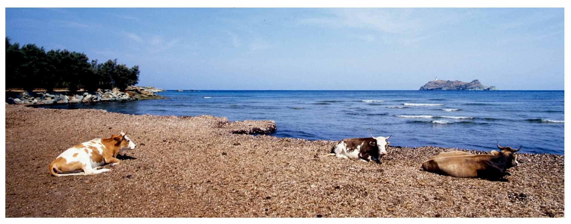 Corsica mucche Barcaggio